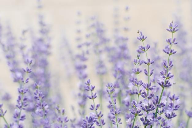 Zarte stilvolle lila lavendelblüten im sommer im garten
