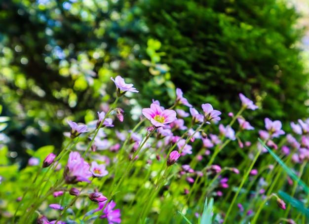 Zarte weiße blüten von steinbrech moosig im frühlingsgarten