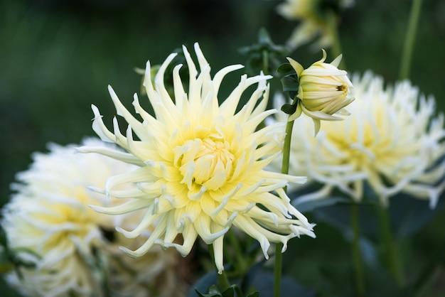Zarte weiße gartenblumen dahlie. geringe schärfentiefe.