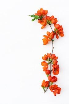 Zarter frühlingszweig mit leuchtenden quittenblüten nahaufnahme auf weißem hintergrund