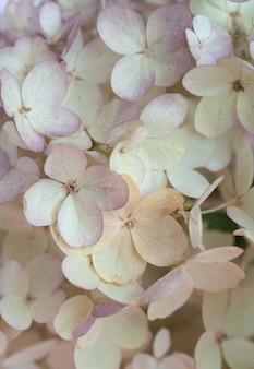 Zarter natürlicher blumenhintergrund in pastellfarben hortensienblüten in naturnahaufnahme mit weichem fokus