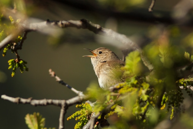 Zaunkönig singt im frühjahrbaum