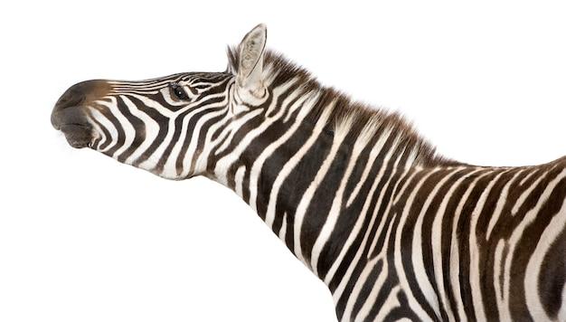 Zebra auf einem weißen isoliert