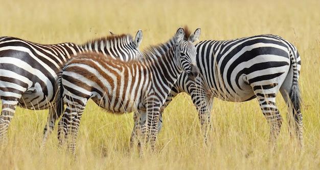 Zebra auf grünland im nationalpark von afrika