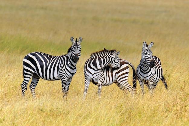 Zebra auf grünland in afrika, nationalpark von kenia
