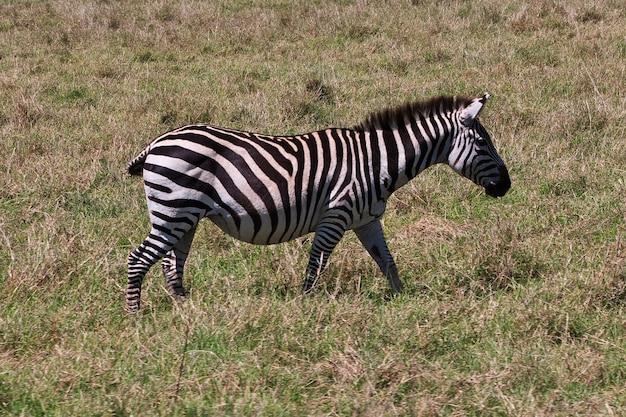 Zebra auf safari in kenia und tansania, afrika