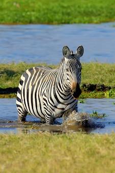Zebra auf see in afrika, nationalpark von kenia