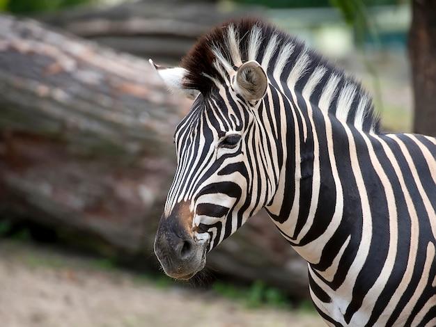 Zebra, ein porträt