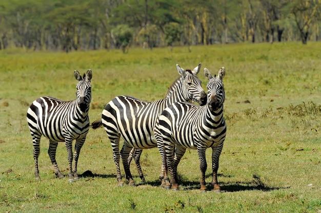 Zebra im nationalpark. afrika, kenia
