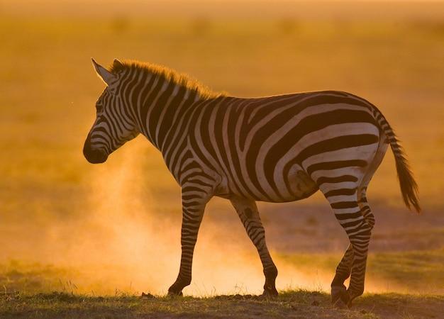 Zebra im staub gegen die untergehende sonne. kenia. tansania. nationalpark. serengeti. maasai mara.