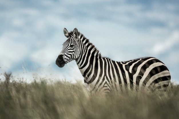 Zebra in der wilden savanne, serengeti, afrika