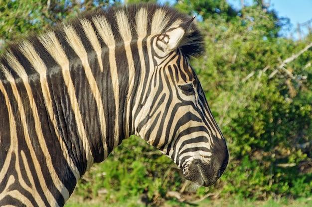 Zebra in freier wildbahn