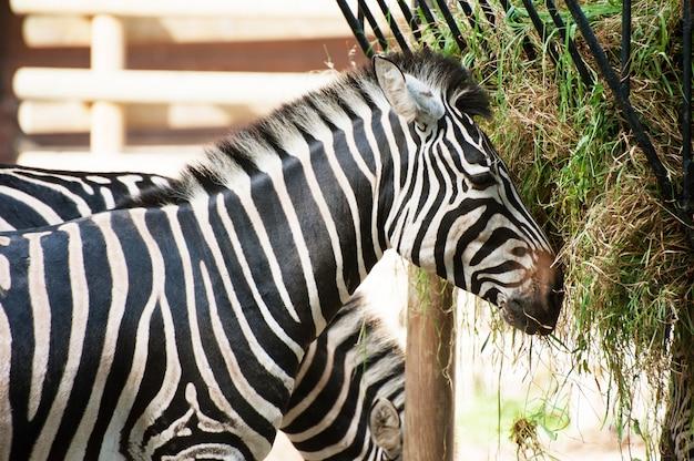 Zebra isst nahes hohes porträt des grases