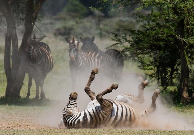 Zebra liegt staubig. kenia. tansania. nationalpark. serengeti. maasai mara.