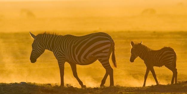Zebra mit einem baby im staub gegen die untergehende sonne. kenia. tansania. nationalpark. serengeti. maasai mara.