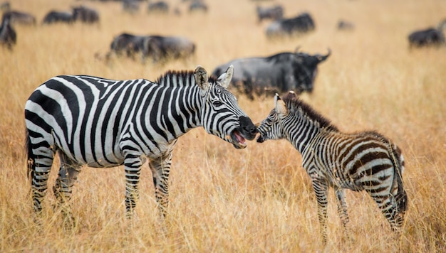 Zebra mit einem baby. kenia. tansania. nationalpark. serengeti. maasai mara.