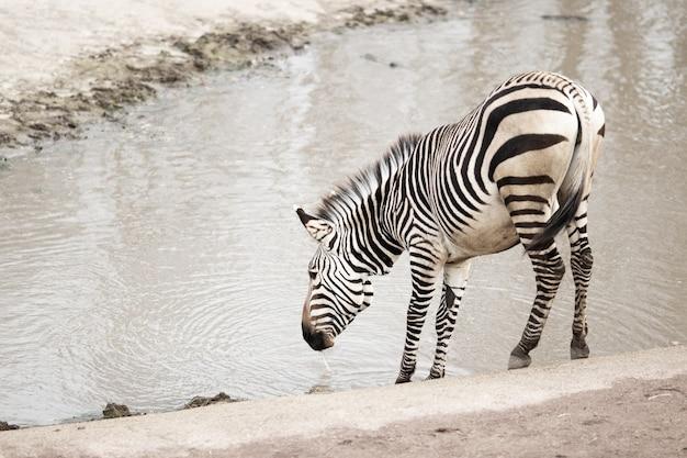 Zebra nahe einem schmutzigen see unter dem sonnenlicht