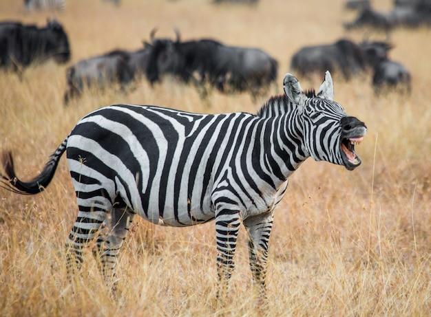Zebra steht in der savanne und gähnt. kenia. tansania. nationalpark. serengeti. masai mara.
