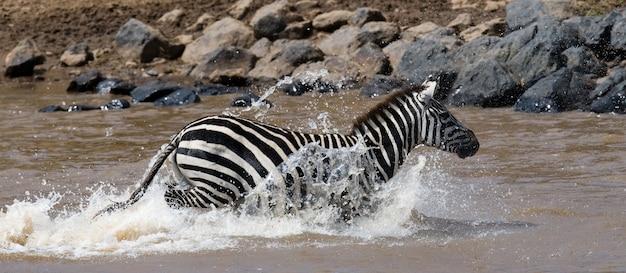 Zebra überquert einen fluss. kenia. tansania. nationalpark. serengeti. maasai mara.