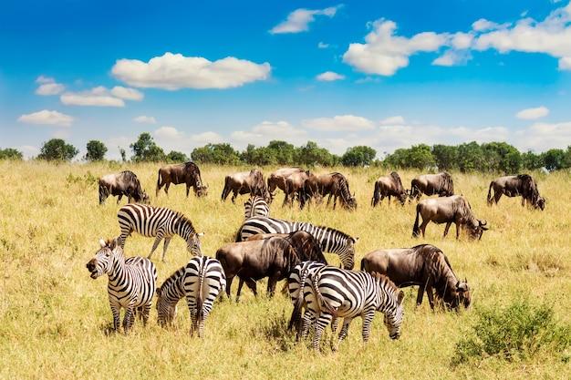 Zebra und gnus in der afrikanischen savanne.