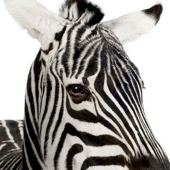 Zebra vorne auf einem weißen isoliert