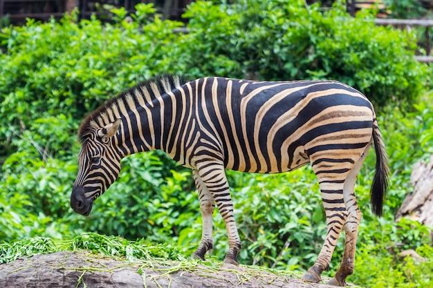 Zebra zwischen essen, natur