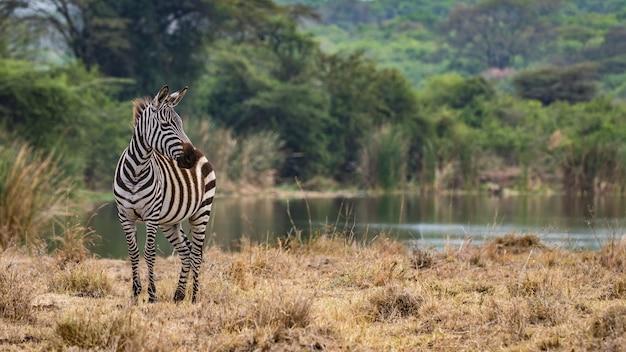 Zebraherde, afrika