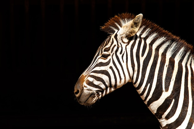 Zebraporträt isoliert auf schwarz
