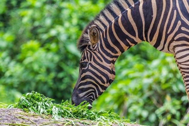 Zebraportraitgesicht und -kopf zwischen dem essen, natur