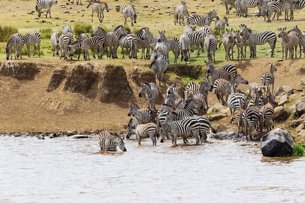 Zebras bereiten sich darauf vor, den mara-fluss kenia in afrika zu überqueren