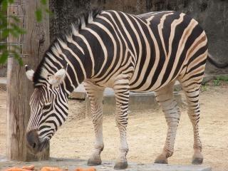 Zebras, gestreifte