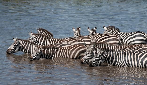 Zebras im serengeti-nationalpark