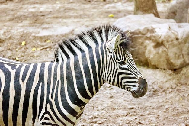 Zebras in ihrem natürlichen lebensraum. nationaler wald.