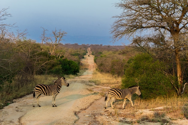 Zebras kreuzen auf einer safari in afrika einen pfad im kruger-naturschutzgebiet.