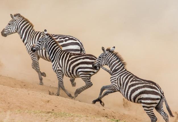 Zebras rennen in der savanne. kenia. tansania. nationalpark. serengeti. maasai mara.