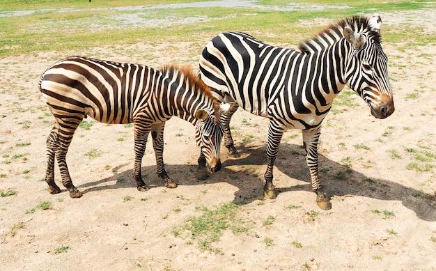 Zebras stehen im sonnenlicht im zoo.