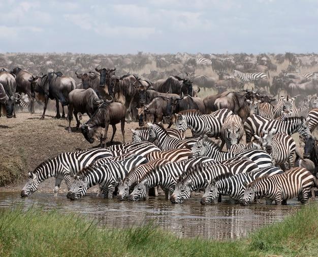 Zebras trinken im serengeti national park