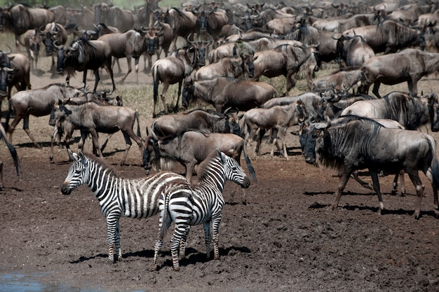 Zebras und gnus im serengeti-nationalpark