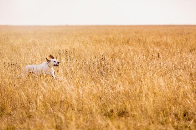 Zeigerhund jagd. hundelauf auf dem feldversuch draußen horizontal.