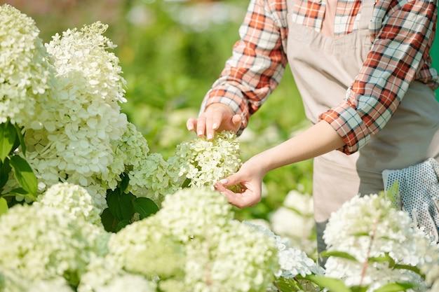 Zeitgenössische junge gärtnerin oder arbeiterin des treibhauses, die blüte einer neuen art weißer hortensie berührt, die im gewächshaus blüht