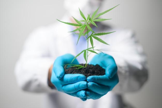 Zeitlupennahaufnahme der hände des agrarwissenschaftlers, die einen keimling der cannabis-hanfpflanzen halten, die für das medizinische konzept der pflanzlichen pharmazeutischen landwirtschaft verwendet werden.