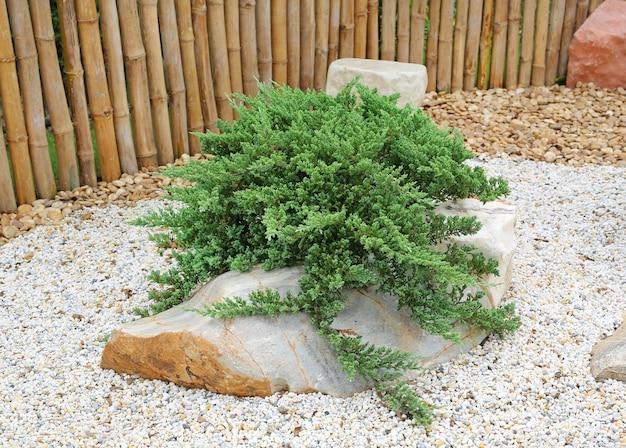 Zen-garten, mini-kiefer oder bonzai wächst im kies