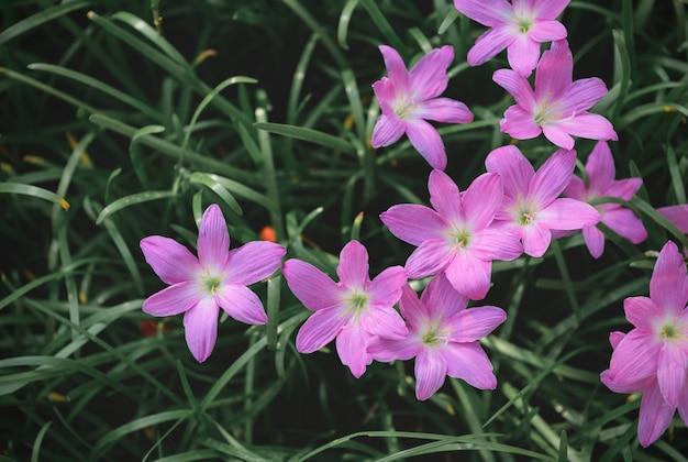 Zephyranthes grandiflora blüht draufsicht