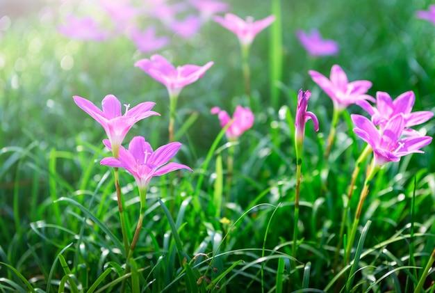 Zephyranthes grandiflora-rosablumen oder feenhafte lilie