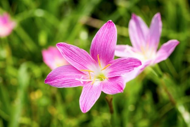 Zephyranthes oder regenlilie blüht auf naturhintergrund.