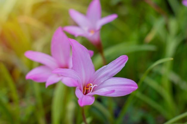 Zephyranthesblume schön