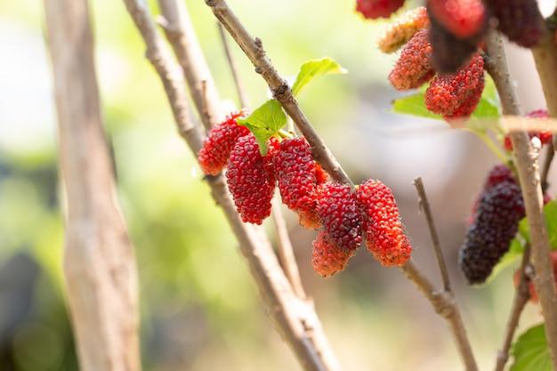 Zerreißen sie maulbeerfrüchte, die an pflanze hängen