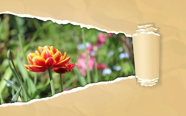 Zerrissenes papier mit tulpenblume im sich öffnenden hintergrund