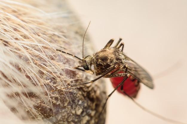 Zica-virus aedes aegypti mücke auf hundehaut - dengue, chikungunya, mayaro-fieber