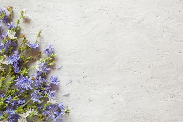 Zichorienblumen auf grauem hintergrund. heilpflanze cichorii. kopieren sie platz